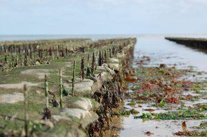 huitres de Normandie – bessin – les parcs Isigny-sur-Mer - 2